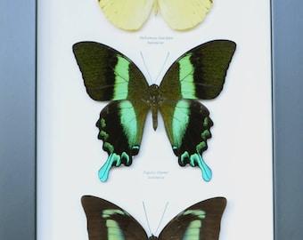 Trio of beautiful butterflies: Prepona demophon Papilio blumei and Hebomoia leucippe