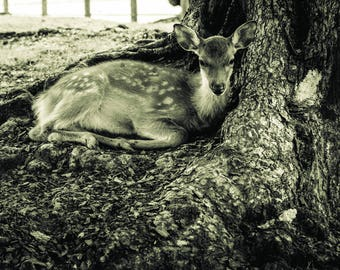 Baby Deer cute photography print poster wall art animal photography