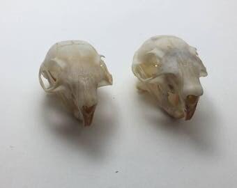 Real Squirrel skulls bone