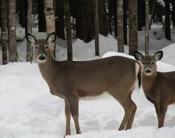 2 White-Tailed Deer