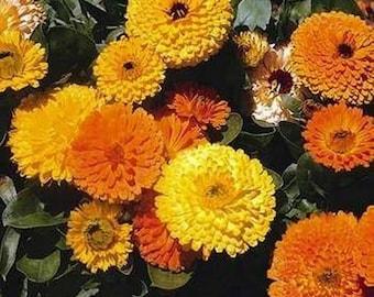 Calendula Pot Marigold- Mix colors- 100 Seeds