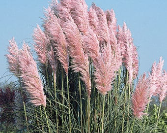 Pampas Grass Plant - Cortaderia selloana - 1 Live Seedling - Pink or White