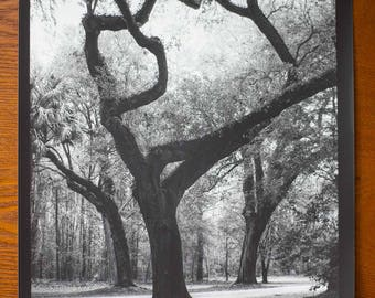Big Southern Trees in the Low Country Forest Near Charleston - Limited Edition Black and white landscape photograph
