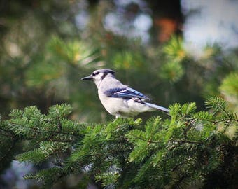 Blue Jay Bird Color Photo Nature FREE US SHIPPING
