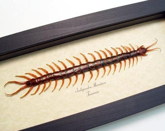 Real Framed Scolopendra Morsitans African Centipede Insect Shadowbox Display 8200