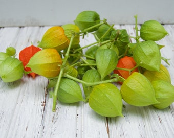 Dried Chinese Lantern seed pods and stems. Halloween . Physalis alkekengi plants, All Green, for crafts and arrangements LOT D