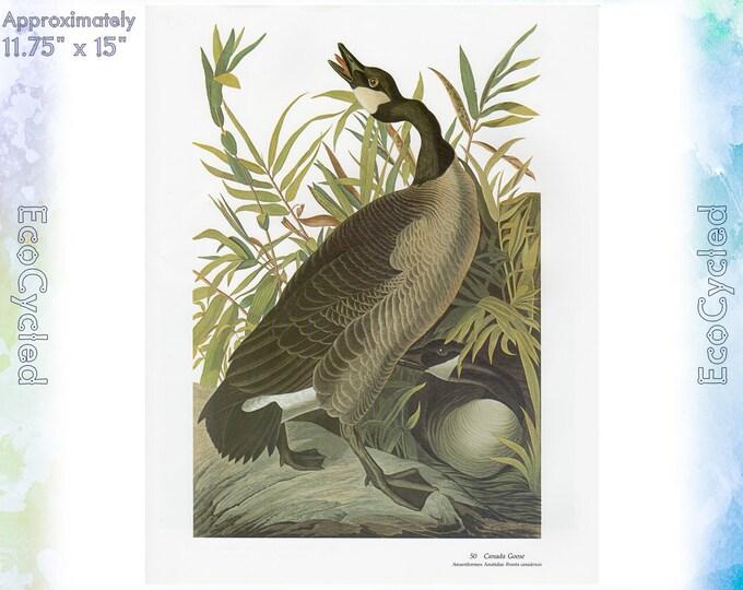Audubon Canada Goose Birds of America Vintage Art Print Nature Vintage Paper Ephemera John James Audubon Baby Elephant Folio frameable 50