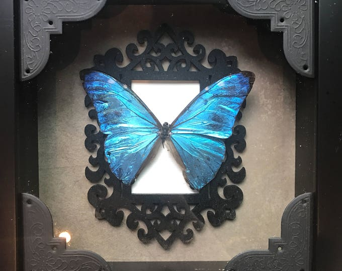 Beautiful blue morpho butterfly taxidermy display!