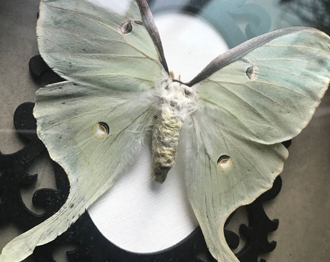 Breathtaking luna moth taxidermy display!