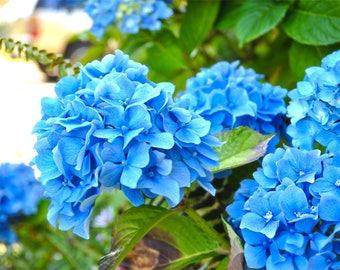 Blue Hydrangeas, color photograph, blue and green, 8 x 10 fine photography print, Hydrangean Bloom