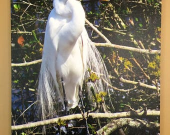 Canvas Print of Original Photography  Great Egret