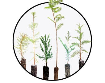 Instant bonsai collection: redwoods of the world bundle, tree seedlings