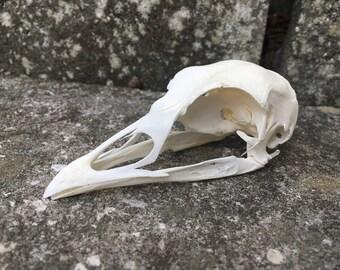 Turkey Skull 002