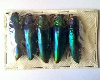 UNMOUNTED 5 x  Chrysocroa Fuminans Fuminans Blue - Taxidermy - Ready to spread