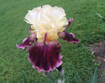 "Tall Bearded Iris ""FLORENCE DAYTON"" Rhizome • Pre-Sale • Perennial Plant Bulb"