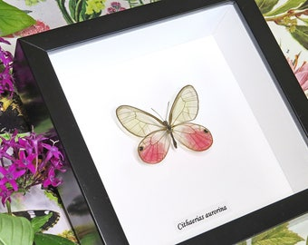 Pink butterfly real insect framed Cithaerias aurorina
