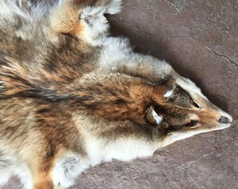 Montana Coyote pelt/hide