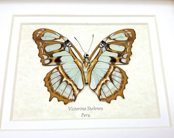 FREE SHIPPING Framed Victorina Stelenes The Malachite Butterfly Taxidermy A1- #74