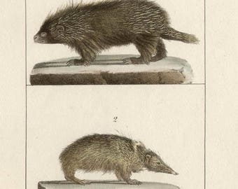 Porcupine and Tanrec - Antique French natural history lithograph, 1832