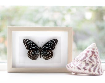 Real framed butterfly: Tirumala septentrionis // black & white-blue butterfly
