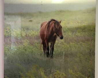 Wild Shackleford Pony Metal Print