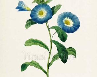 Dwarf Morning Glory Flower Art Print, Botanical Art Print, Flower Wall Art, Flower Print, Floral, Redoute, blue, white, Convolvulus tricolor