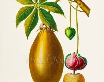 Baobab Botanical Print, Baobab Art Print, Fruit Art, Fruit Print, Kitchen Art, Garden, Baobab Fruit Print
