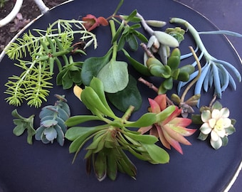 Mystery succulent lot - 15 cuttings