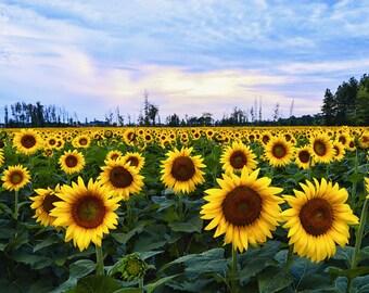 Sunflower Field | Ohio 8x10