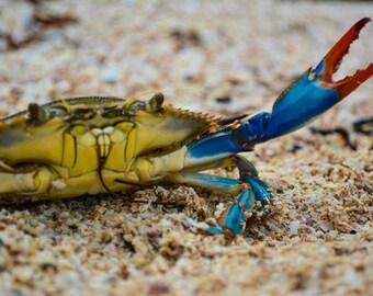 Wild Blue Crab Print