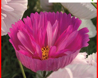 30pcs Cupcakes Mix Cosmos Seeds Hardy Plant Flower Seeds Bonsai Home Garden Potted Plant
