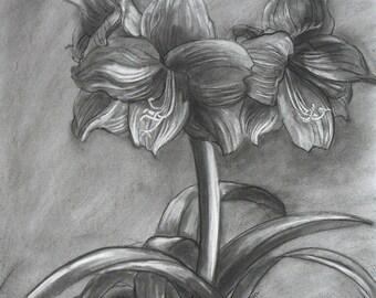 Amaryllis study small charcoal/eraser drawing