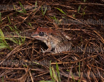 Long-faced whistling toadlet (Leptodactylus longirostris)