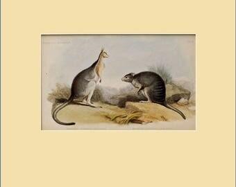 The Tufted-Tailed Rat Kangaroo and the Common Wallaroo, early print