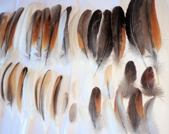 Natural Molt Ameraucana Chicken Feathers Wing Flight Crafts Furnace Badger Blue Black Green Purple Sheen