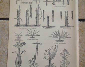 1890 Tree Grafting Antique Illustrations