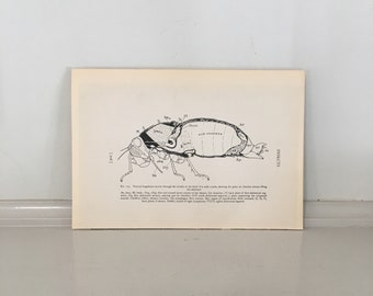 c. 1934 CICADA ANATOMY PRINT - vintage insect print - vintage entomology print - old bug print - vintage lithograph of insects