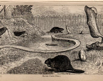 Antique Print, 1871 beavers, Engraving, beautiful wall art vintage engraved b/w illustration animals 13