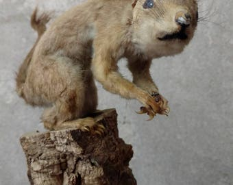 Vintage Taxidermy Squirrel, Small Very Old Stuffed Taxidermied Animal