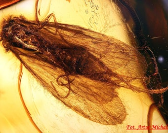 Baltic Amber Inclusion 3396 PERFECT CADDIS FLY, amber for J E W E L E R Y , cabochon, Genuine Natural Amber 100% Guarantee. Fossil Insect.