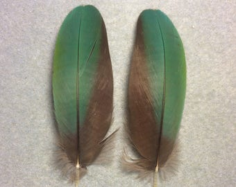 "Matching pair of 3.75"" bluish green scarlet macaw feathers"