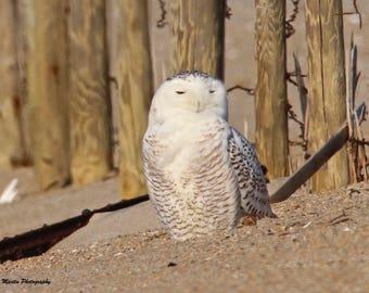 Portrait of a Snowy Owl
