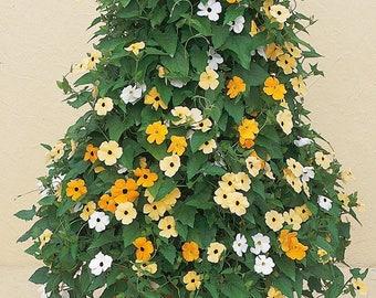 Bulk Thunbergia Seeds Susie Mix 500 Flower Seeds