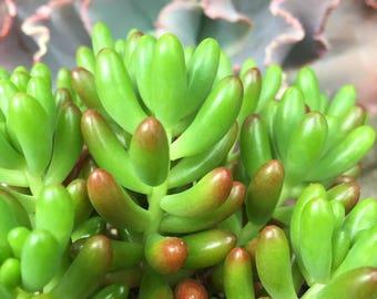 Sedum Rubrotinctum/Jelly Bean Plant/Succulent plant/succulents/indoor plant/succulent arrangement/live plants/cactus/succulent wedding