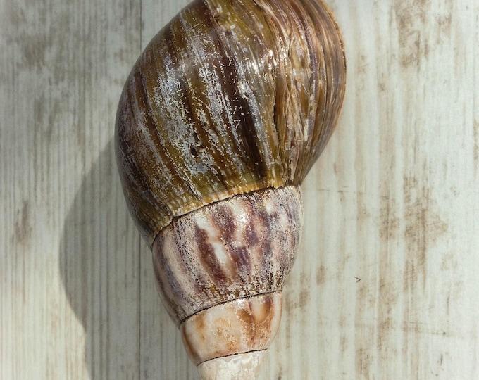 Akhatina shell