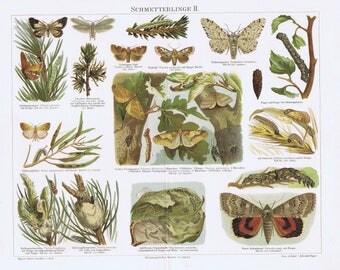 antique print butterflies caterpillar 1895