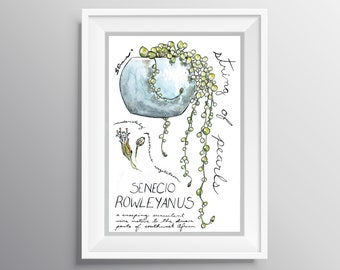 Senecio Rowleyanus - Physical Print of String of Pearls Succulent Journal Style Illustration with Notes (Multiple Sizes)