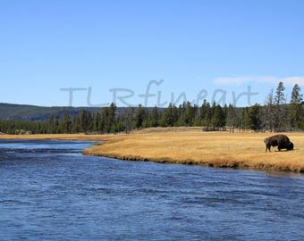 Yellowstone National Park, Bison, river, Bison grazing, pine trees, blue sky, color photograph