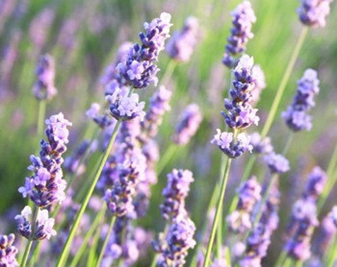 Featured listing image: Lavender, High Altitude & Wildcrafted