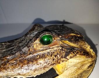 "Alligator Head 8"" with Sharp Teeth"